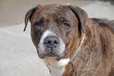 TO BE DESTROYED 7/3/14 Brooklyn Center -P  My name is BOWERY. My Animal ID # is A1003795. I am a spayed female br brindle and white mastiff and pit bull mix. The shelter thinks I am about 9 YEARS old...***SENIOR ALERT!!!!