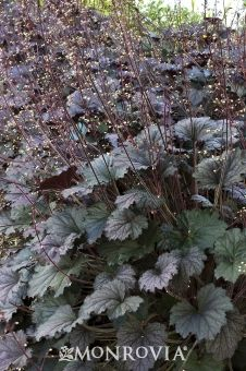 Monrovia's Frosted Violet Coral Bells details and information. Learn more about Monrovia plants and best practices for best possible plant performance.