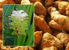 Curcuma bienfaits, vertus, propriétés, anti inflammatoire : phytothérapie