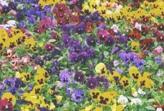 Pansy Swiss Mix (Viola Tricolor Maxima) Mixed colors- 50 seeds for sale online Full Shade Plants, Full Sun Plants, Planting Vegetables, Planting Seeds, Large Flowers, Purple Flowers, Flower Factory, White Hibiscus, Home Garden Plants