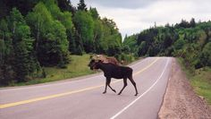 Waiting for a moose to move out of the road while driving the Cabot Trail.