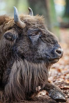 1108 best buffalo images in 2018 american bison wild animals