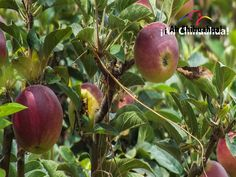 TURISMO EN CHIHUAHUA. En los valles que riega el río Papigochi en Chihuahua, se cultivan las mejores manzanas de México. La primavera revienta en miles de flores, que después se trasforman en exquisitas manzanas, dando origen a deliciosos platillos entre los que destaca el Pay de manzana. No pierda la oportunidad de probar estas exquisitas manzanas en su próxima visita a Chihuahua. #turismoenchihuahua