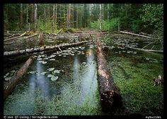 Picture/photo (Temperate Rainforests): Trunks in rainforest pond, Bartlett Cove. Glacier Bay National Park, Alaska, USA.