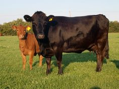 Dexter cattle are the smallest of the European cattle breeds, being about half the size of a traditional Hereford and about one third the size of a Friesian (Holstein) milking cow. The Dexter breed originated in Ireland.