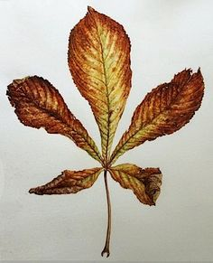 Aesculus hippocastanum. Vernacular name Horsechestnut.  Watercolour on vellum - watercolour by Dianne Sutherland