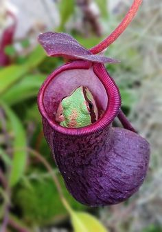 A pitcher plant with little frog hiding inside to catch a meal. Have seen many frogs in mine. Strange Flowers, Unusual Flowers, Unusual Plants, Rare Flowers, Exotic Plants, Cool Plants, Amazing Flowers, Weird Plants, Pitcher Plant