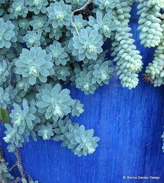 Image detail for -dsc09985 jpg blue succulents