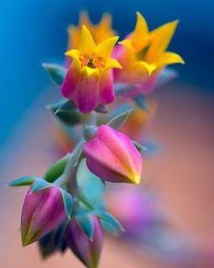 These Echeveria flowers .