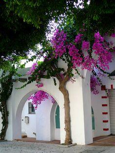 Bougainvillea in Torremolinos, Andalusia, Spain