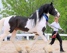 Black White Pinto Paint Drum Horse Clydesdale Shire Horse Trotting Stallion Gelding Mare