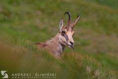 Chamois.  #wildlifephotography Tatra Mountains, Fiction Novels, Wildlife Photography, Goats, Wild Animals, Polish, Inspiration, Biblical Inspiration, Vitreous Enamel