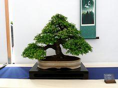 Best of British Bonsai Exhibition 2009 | Flickr: Intercambio de fotos