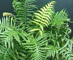 Blechnum cartilagineum (Gristle Fern) A very tough and hardy fern from Australia growing in a wide range of habitats.  It has bronze-red new fronds. Growing up to 150cm high and handling more sun than most ferns this plant makes an excellent landscape fern.