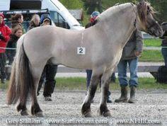 Norwegian Fjord Horse, Fjord, Norges Fjordhest (Norwegian), Fjording, Nordbag, Nordfjord, Northern Dun, Norwegian Dun, Norwegian Pony, Vestland, West Norway, West Norwegian