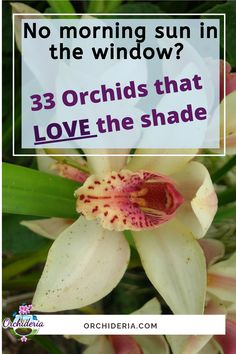 33 Best Low Light Orchids: Top Recommended Orchids for Shade — Orchideria Miltonia Orchid, Phalaenopsis Orchid, Orchid Plant Care, Orchid Plants, Indoor Orchids, Indoor Plants, Indoor Gardening, Orchid House, Miniature Orchids