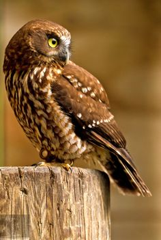Morepork 3 by Kurien Yohannan on Pretty Birds, Beautiful Birds, Animals Beautiful, Cute Animals, Owl Bird, Bird Art, Owl Pictures, Crazy Bird, Baby Owls
