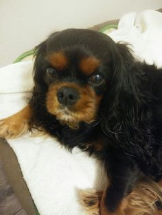 Cavalier King Charles frimousse 8 ans