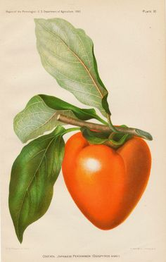 Mmmmmmm, persimmons!  https://www.etsy.com/ca/listing/269755461/1892-antique-botanical-print-japanese?ref=shop_home_feat_1