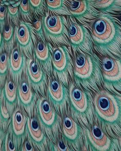 Peacock feathers; colored pencil drawing #art #drawing #drawings # colored #pencil #pencils #peacock #feathers