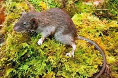 STRANGE ANIMALS: New Species of Rats discovered in Indonesia