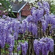"Blue Moon Reblooming Wisteria    Besides a bone-chilling tolerance to cold weather, Blue Moon is exceptionally dependable and will bloom up to an amazing three times a year if planted in full sun on a sturdy structure. Flowers are a beautiful lavender-blue and develop in foot-long fragrant clusters! Ships in a 4"" pot. Zones 4-9 Wisteria 'Blue Moon'      This item ships only in the spring.      Height: 20-30' Zones: 4-9  Bloom Time: Mid to Late Spring  Light: Full Sun to Partial Shade"