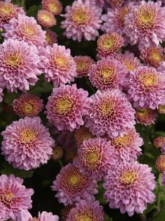 Perennial plants return year after year. 1200 varieties in biodegradable pots shipped in earth friendly packaging. Flowers Perennials, Planting Flowers, Bushel Baskets, Chrysanthemum Flower, Pink Petals, Autumn Garden, Flower Wallpaper, Horticulture, Fresh Flowers