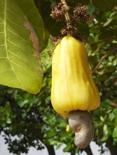 English: A cashew fruit and accessory fruit in the town of Prainha near Fortaleza, Ceará, Brazil.
