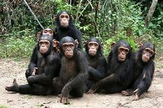 SAVING HABITATS AND LIVES OF GREAT APES : Finding a way to combat the threats to the survival of chimpanzees and other great apes will always remain at the heart of the Jane Goodall Institute's mission. The Triangle Approach : Educate. Protect. Rescue. Learn more.....