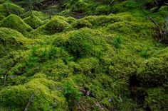 Musgos (Bryophyta)  Os musgos são os maiores representantes das briófitas, apresentam 90.000 espécies já classificadas. São plantas avasculares e umbrófitas, ou seja, são desprovidas de vasos condutores de seiva e habitam ambientes sombrios e úmidos. Algumas espécies de musgos podem ser encontradas em habitats desérticos e ainda formarem extensos tapetes sobre rochas expostas. Apresentam rizoides, caulóides e filóides.