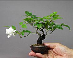 bonsai de rosas