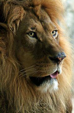 Sin duda que el leon es el Rey de la Selva