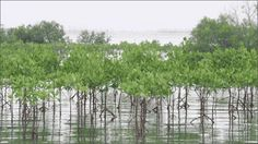Mangrove forests like the one shown here protect shorelines from damaging storms. These trees are a great example of a natural system that can help communities better protect themselves from natural disasters. Courtesy of ASLA