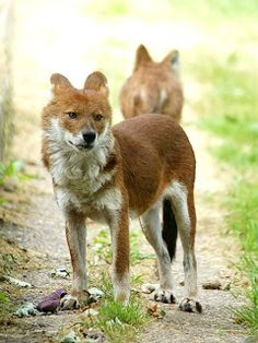 Cão-selvagem-asiático (Cuon alpinus) é uma espécie de canideo nativa da Rússia, Mongólia, Casaquistão, Quirguistão e Tadjiquistão.