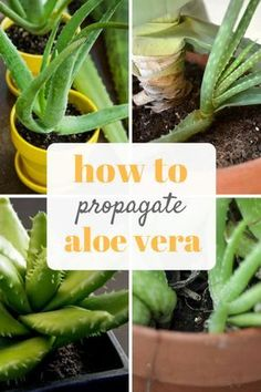 Propagating Aloe Vera is easy with this guide! Gardening, Gardening Tips and Tricks, How to Propagate Aloe Vera, Growing Aloe Vera, How to Grow Aloe Vera, Gardening 101, Gardening Hacks, Popular Pin