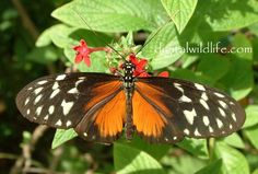 Hecale  Heliconius hecale  Heliconiidae Family