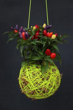 chili pepper moss ball.....by Mister Moss