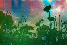 Pretty in Mad | film adventures: Rainbow Poppies (on Soapy Film by Mustolina) #1  #film #photography #nature #flowers #soapyfilm #prettyinmad #poppies