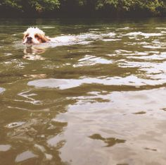 Swim time at Holston River Dog Park! - Knoxville, TN - Angus Off-Leash #dogs #puppies #cutedogs #dogparks #knoxville #tennessee #angusoffleash