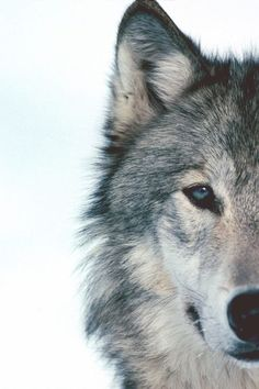 This would be ( the wolf face not the white background ) something cute to have on the cover since we are the huskies.