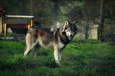 fyeahcanines:  (by BlackIce-Wolf)