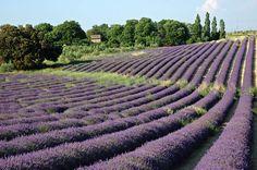 Les champs de Lavande à Valensole... et surtout l'odeur!! (lavender fields in Valensol - French riviera-... especially the smell !)