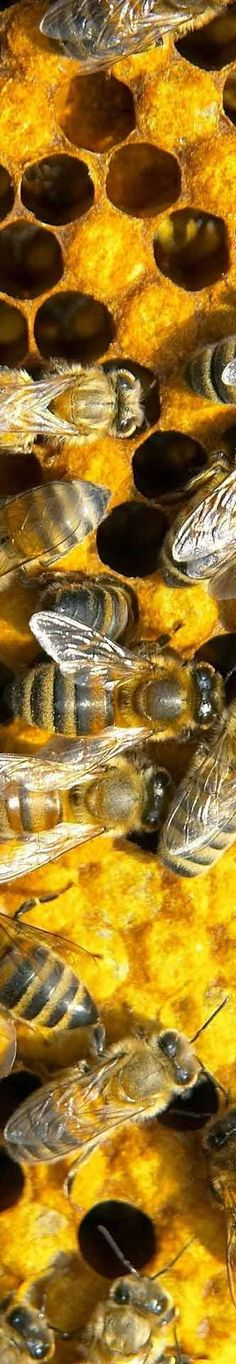 Honeybees at home