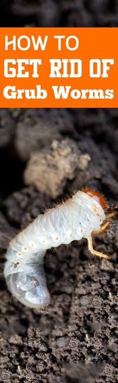 How to Get Rid of Grubs- Ways to get rid of those horrible grub worms that ruin your lawn.  How to control grubs