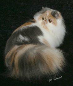 Calico-Chintz-persian-cat-10