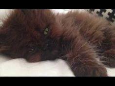 "(45) Mujer adoptó a un gatito moribundo, pero nunca imaginó en la ""bestia"" que se transformaría - YouTube"