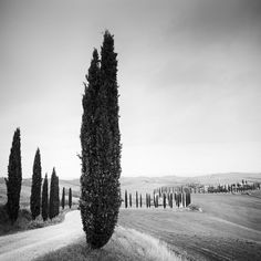 Panorama Camera, Landscape Photography, Art Photography, Tree Study, Black And White Landscape, Cypress Trees, Tuscany Italy, Affordable Art, Black And White Photography