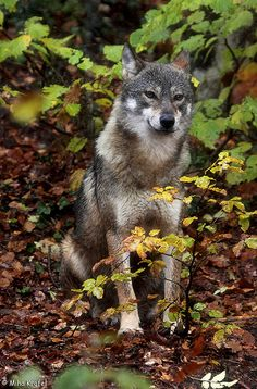 ☀Female gray wolf Canis lupus in rainy autumn forest in Italy by mk_lynx*