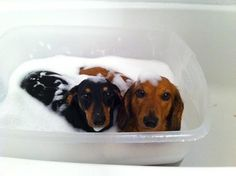 @Shanice Buckhalton two dachshunds in a tub of bubbles. Why is it so cute!?