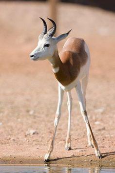 dama gazelle, addra gazelle, or mhorr gazelle (Nanger dama, formerly Gazella dama)